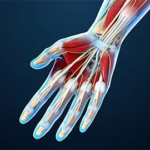 Tendons of the hand